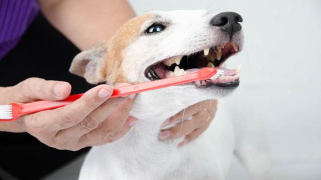 dog dental hygiene tips from kingsgate veterinary hospital in lubbock tx
